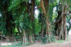 Cây sanh hơn 800 năm tuổi ở Hòa Bình