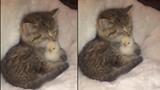 Chú mèo nhỏ ấp ủ gà con vượt qua giá rét