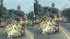 Chú chó đứng thoải mái trên đỉnh xe tải đang chạy