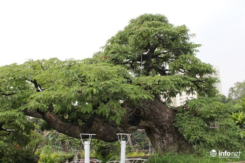 Cận cảnh cây me hơn 100 tuổi được rao bán với giá 3,5 tỷ