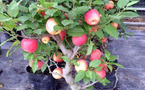 Táo đỏ hàng Tàu mấy tháng không hỏng: Có độc cấm ăn