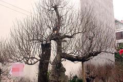 Đào 'khủng' long bàn hổ phục, không bán chỉ cho thuê giá hơn 100 triệu