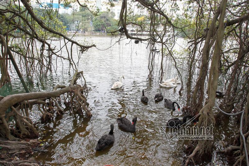 Thiên nga, Hà Nội, hồ Gươm.