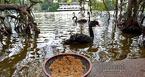 GS Lân Dũng lo thiên nga ở hồ Gươm bị bắt trộm