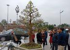 Đại gia Ninh Bình 'rinh' cây mai khủng gần 200 triệu về chơi Tết