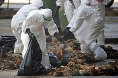 Công điện khẩn: Chặn cúm gia cầm Trung Quốc vào Việt Nam