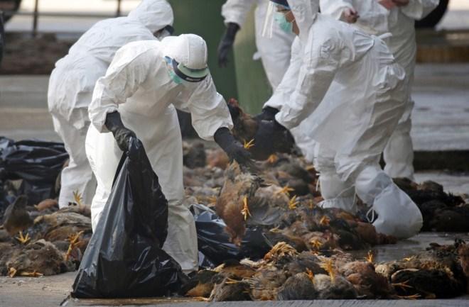 Cúm gia cầm, H7N9, H5N1, cúm gà