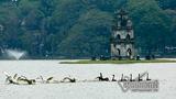 Đàn thiên nga trăm triệu tung cánh giữa hồ Gươm