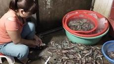 4.000 con lợn tiêm thuốc an thần: Dân mình hại nhau