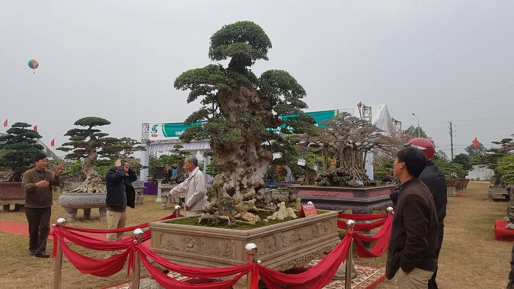 siêu cây tiền tỷ,siêu cây cảnh