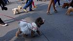 Chó cảnh diện thời trang 'sang chảnh' tung tăng dạo phố