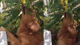 Chó ăn chùm ruột khiến người xem chảy nước miếng