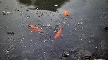 Nước sông đen kịt, bốc mùi dân vẫn ùn ùn phóng sinh cá