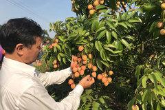 Nỗ lực mở cửa thị trường cho quả vải thiều đặc sản Việt Nam
