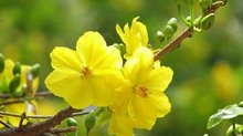 Tổng hợp các loài hoa mang đến may mắn tốt lành trong ngày Tết