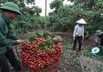 Trồng 2 cây vải trúng đậm vàng ròng, cả làng mua Dream Thái