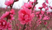 Cách chọn và giữ hoa đào đẹp ngày Tết đón tài lộc vào nhà