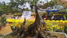 Chiêm ngưỡng cây khế hình chó, dừa 15 ngọn giá nửa tỷ ở Phú Quốc