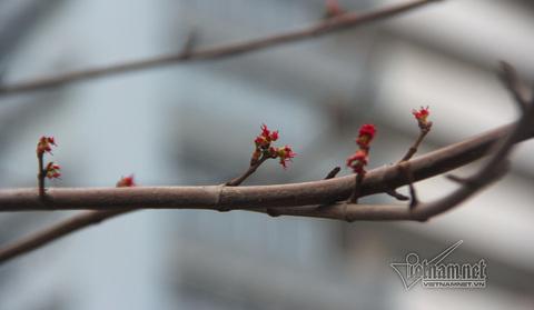 phong lá đỏ