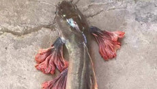 Độc nhất vô nhị: Bắt được cá trê rồng sặc sỡ như hoa