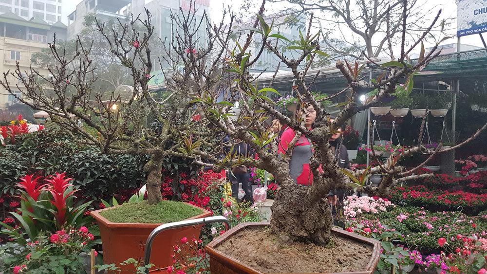 Tết Nguyên đán 2018,siêu cây,cây độc,Tết nguyên đán