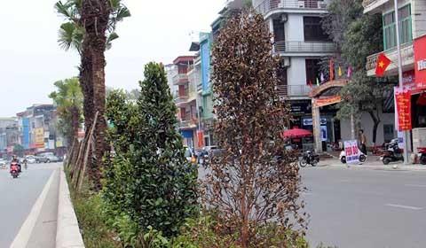 cây chết khô ở Quảng Ninh