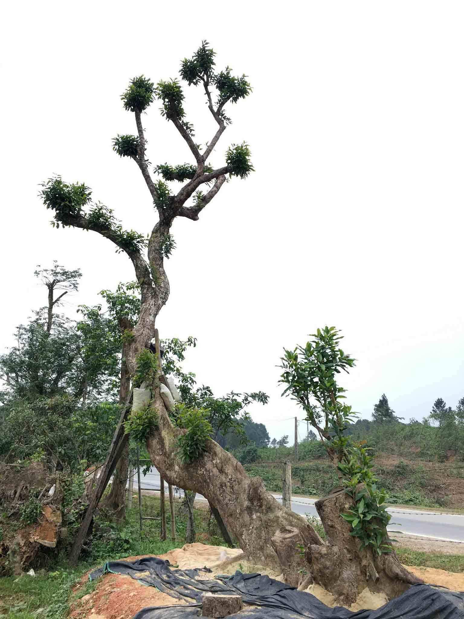 cây cảnh Tết,Hà Tĩnh,Tết Việt 2018,Tết nguyên đán
