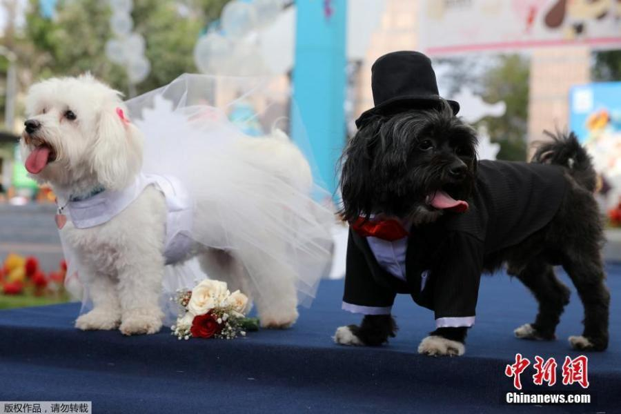 cún cưng,Valentine,lễ Tình nhân,đám cưới