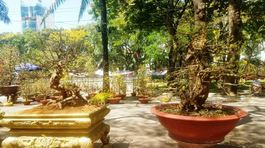 Hai cây mai trăm tuổi thế tuyệt đẹp giá gần 5 tỷ đồng ở Sài Gòn