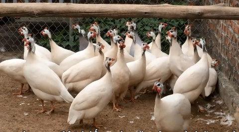 Ngắm đàn gà sao đột biến, cực độc tại Hải Dương
