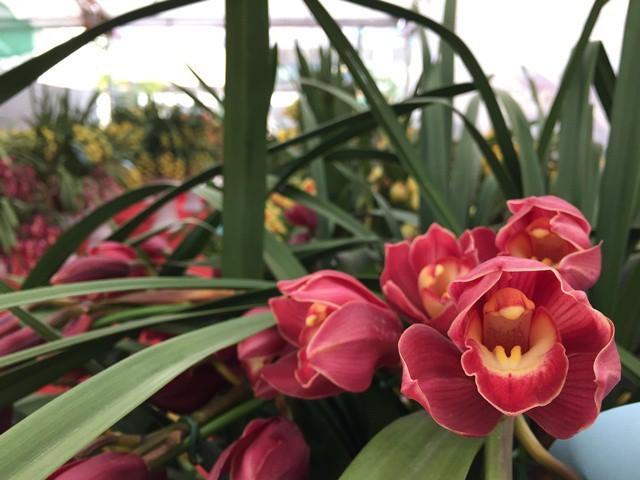 Người Việt đem 82 tỷ đồng mua hoa, cây cảnh Trung Quốc về trưng Tết - ảnh 1