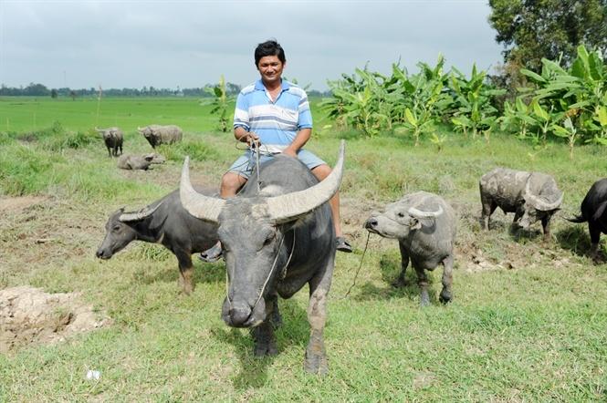 nông dân làm giàu,tỷ phú nông dân,nuôi trâu