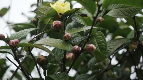 Loài trà 'thần dược' bị săn tìm như báu vật, giá 2 triệu/kg