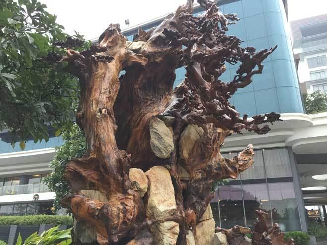 Ngắm gốc gỗ trai đỏ thế 'Bạt phong hồi đầu' nghìn năm tuổi ở Hà Nội