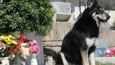 Cảm động chú chó ngủ bên mộ chủ suốt 11 năm0