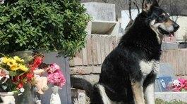 Cảm động chú chó ngủ bên mộ chủ suốt 11 năm