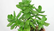 Hút tài lộc đầu năm với cây ngọc bích nhỏ xinh dễ trồng