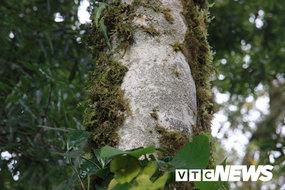 Phát hiện vườn chè cổ thụ triệu năm hoang dã trên đỉnh núi ở Lai Châu
