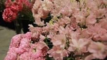 Thưởng lãm 50 loài hoa Nhật Bản tại Hà Nội