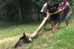 Xem dân làng đánh trăn khổng lồ để cứu chó