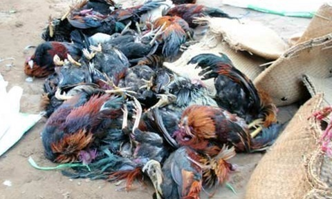 Ăn gà trúng thuốc chuột, hàng chục người nhập viện