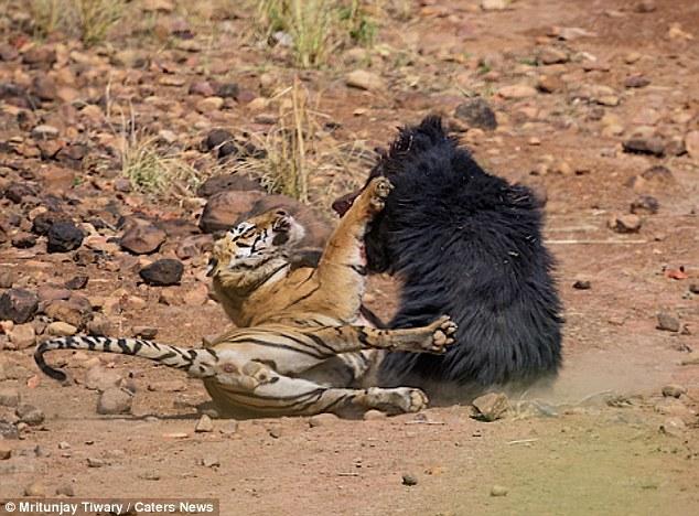 Gây hấn với gấu cái, hổ đực nhận kết cục thảm