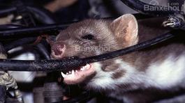 Dây điện bọc đậu tương: Nguyên nhân thu hút chuột cắn phá xe