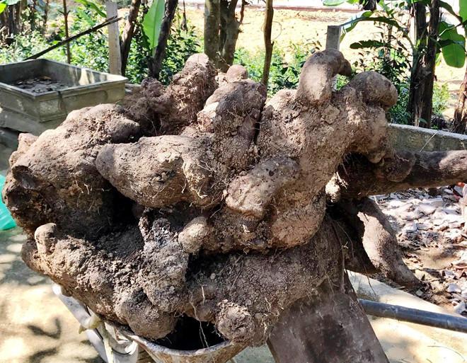 Củ khoai vạc nặng 110 kg ở Hà Tĩnh