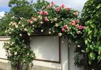 Mãn nhãn biệt thự phủ kín hoa hồng đẹp như cổ tích