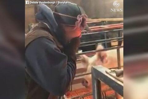 cầu hôn trong chuồng lợn