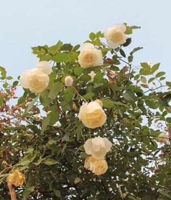 ngày 8/3,quà tặng 8/3,hoa hồng,hồng cổ,hồng cổ Sa Pa