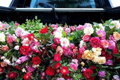 Đi hơn 100 km, cắt đủ 1.500 bông hồng chở về tặng bạn 8/3