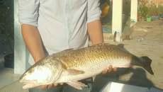 Ngư dân bắt được cá óng ánh nghi sủ vàng, rao bán 600 triệu