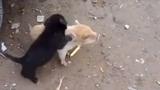 Cuộc chiến không khoan nhượng giữa chó và lợn